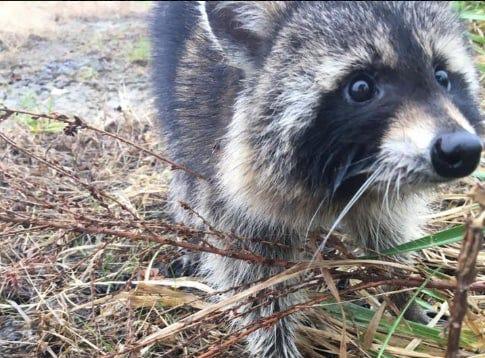 A drunk raccoon in Milton, W.Va.
