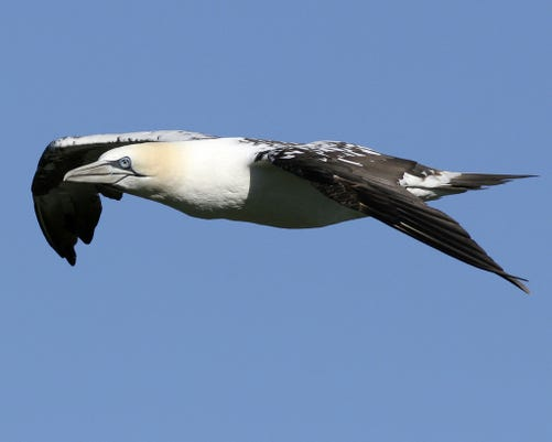 1128 Ynsl Birds Northern Gannet