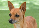 Bolita was rescued from life in a junkyard. She is ahappy and sociable little dog. She walks nicely on leash and is friendly with other dogs. She is a 3-year-old Chihuahua. Her sibling wasrescued by our officers with her and is also available.You can meetBolitaat the Humane Society of Ventura County in Ojai. Her adoption fee of $120 includes spay, vaccinations, freeveterinarian check,microchip implantation, ID tag and a fun new family member.For more information on Bolitaor other available animals, or to volunteer, call 805-656-5031 or visit www.hsvc.org.The shelter is located at 402 Bryant St.,Ojai. Hours are 10 a.m. to 5 p.m. Monday throughSaturday. The shelter offered many thanks to the staff, volunteers and those in the community who have come through tohelp animals during this time.
