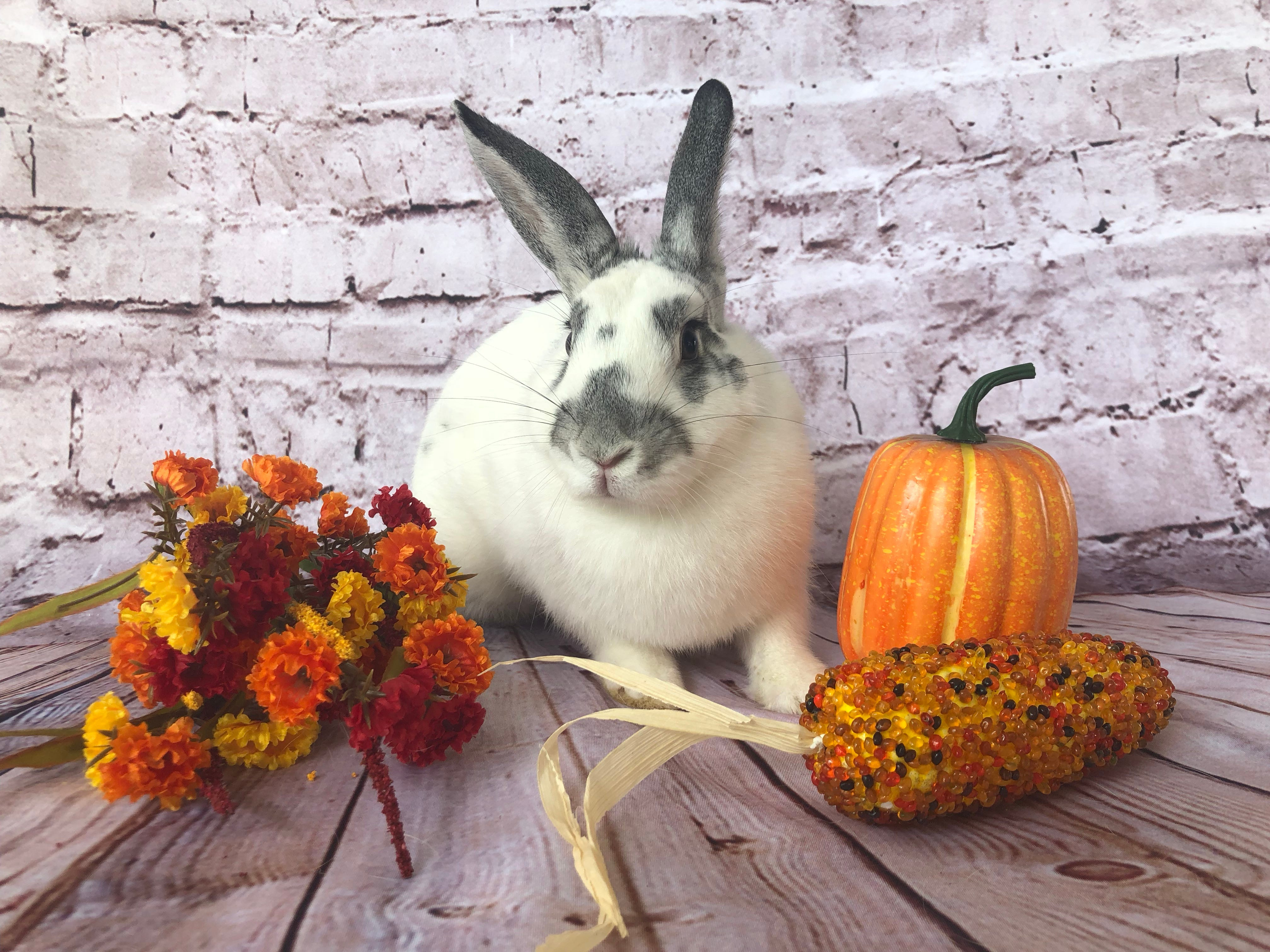 "Adoptable Cosette and her fellow shelter rabbits are feeling extra grateful this Thanksgiving. They have been joined by several ""safe haven"" bunnies who are being cared for by the Ventura County Animal Services Bunny Brigade while their families remain displaced by area fires. While firefighters have come from around the country to help make the local community safe again, Ventura County Animal Services has worked around the clock to provide shelter and loving care to dozens of pets of all shapes and sizes until their families can reclaim them. Meanwhile, Cosette is one of more than 70 rabbits who are still awaiting their forever homes. She herself is a Ventura County Animal Services success story, having received life-changing surgery that partially amputated a severely injured leg while enabling her to continue to hop, play and live a happy and healthy life. To meet this friendly and curious girl, visit the county shelter at 600 Aviation Drive in Camarillo and ask for ID A691407. For details about adoption hours, offsite events, bunny nail trims and compatibility dates, visit facebook.com/VCASBunnyBrigade. For more information on other animals, visit www.vcas.us."