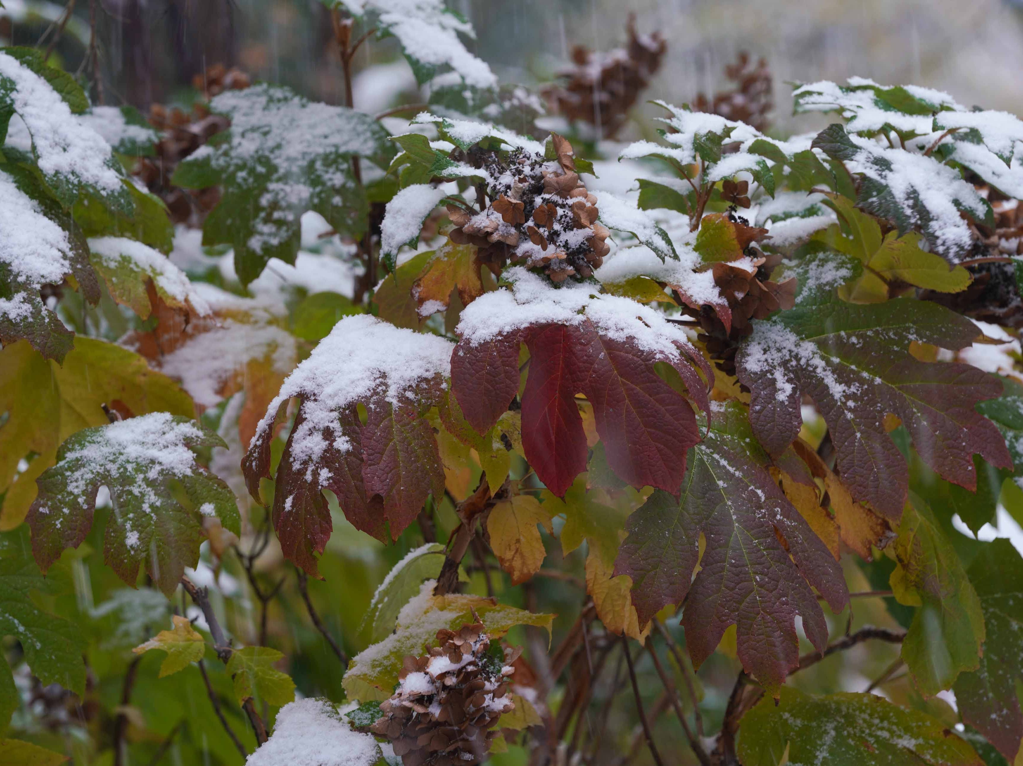 Fall colored foliage got a dusting of snow in Old New Castle on Thursday morning.