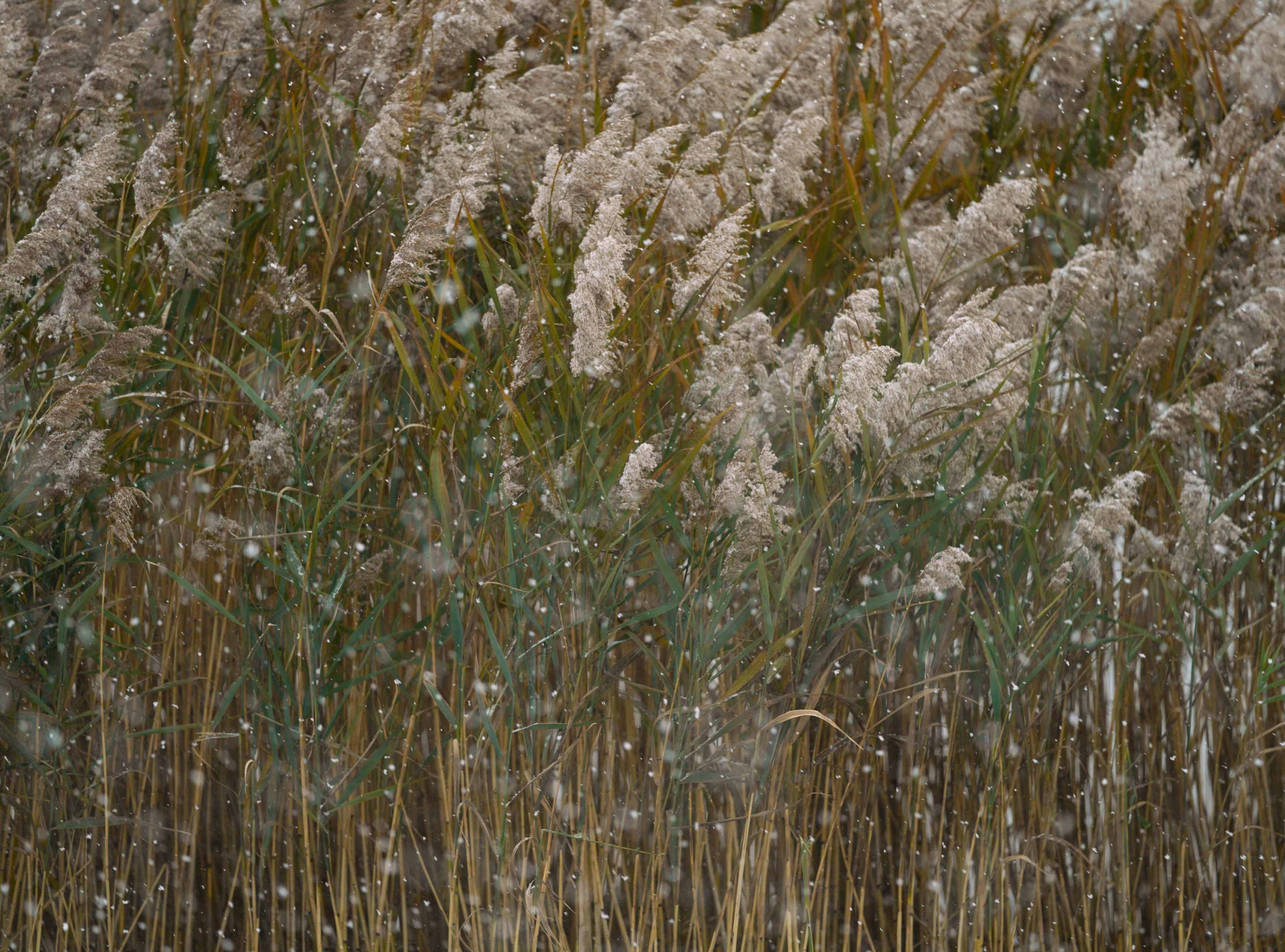 Reeds blow in the falling snow along the Delaware River in Old New Castle on Thursday morning.