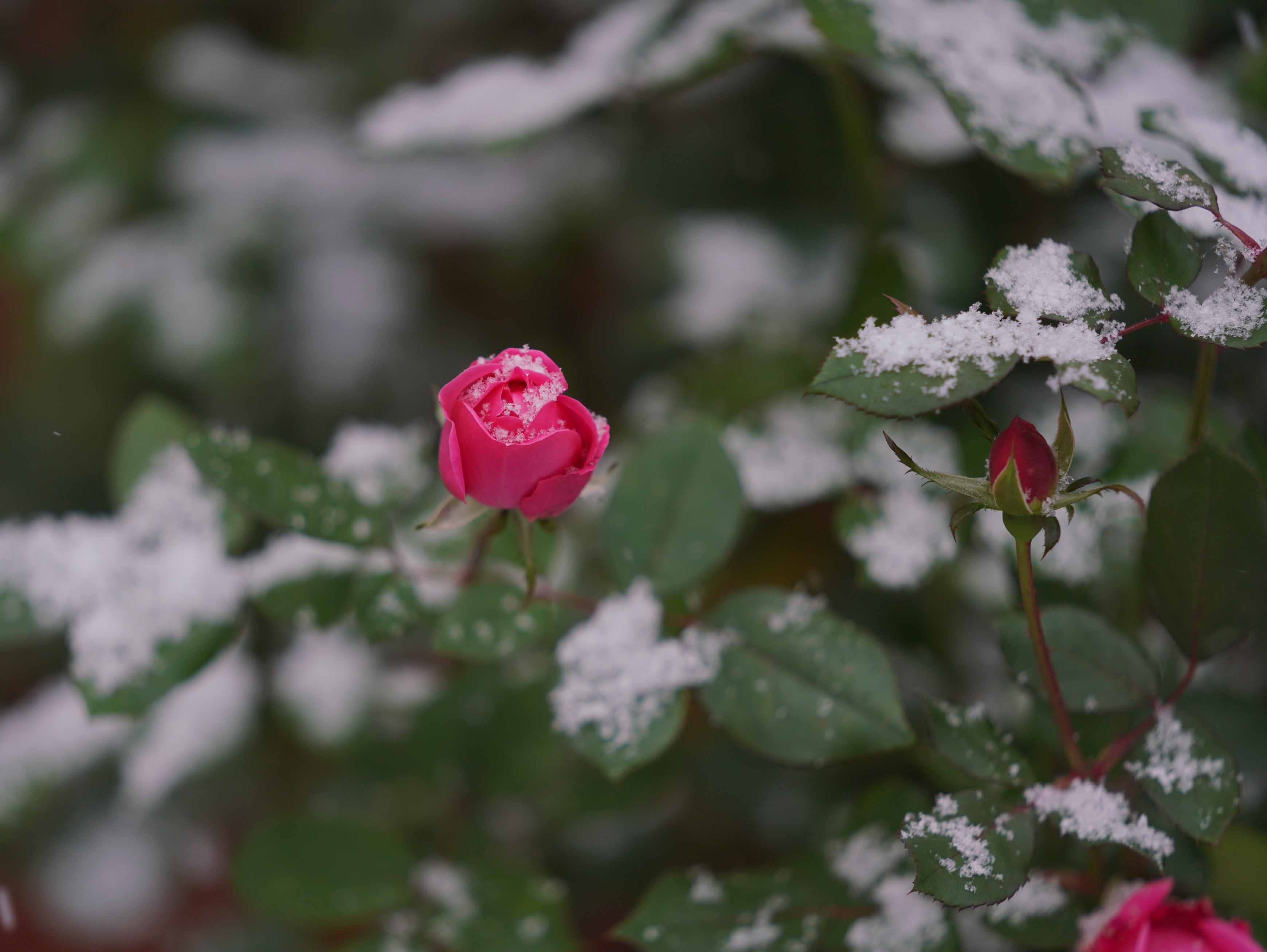 Blooming roses get a coating of snow in Old New Castle on Thursday morning.