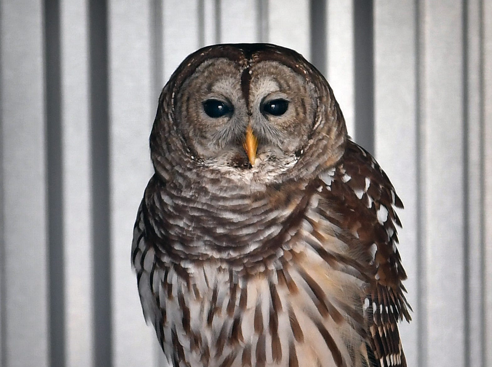 Lindsay is a Barred Owl that was injured in 2011 and has limited eyesight and is now an avian ambassador in the new Exhibit and Education building at Wild Bird Rescue.