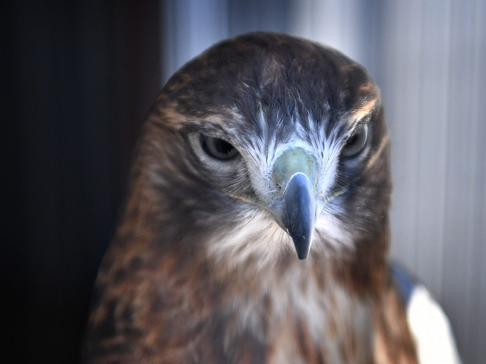 Teetonka is a Red-Tailed Hawk that resides in the new Exhibit and Education building at Wild Bird Rescue. The facility houses about ten ambassador birds and is open to the public.