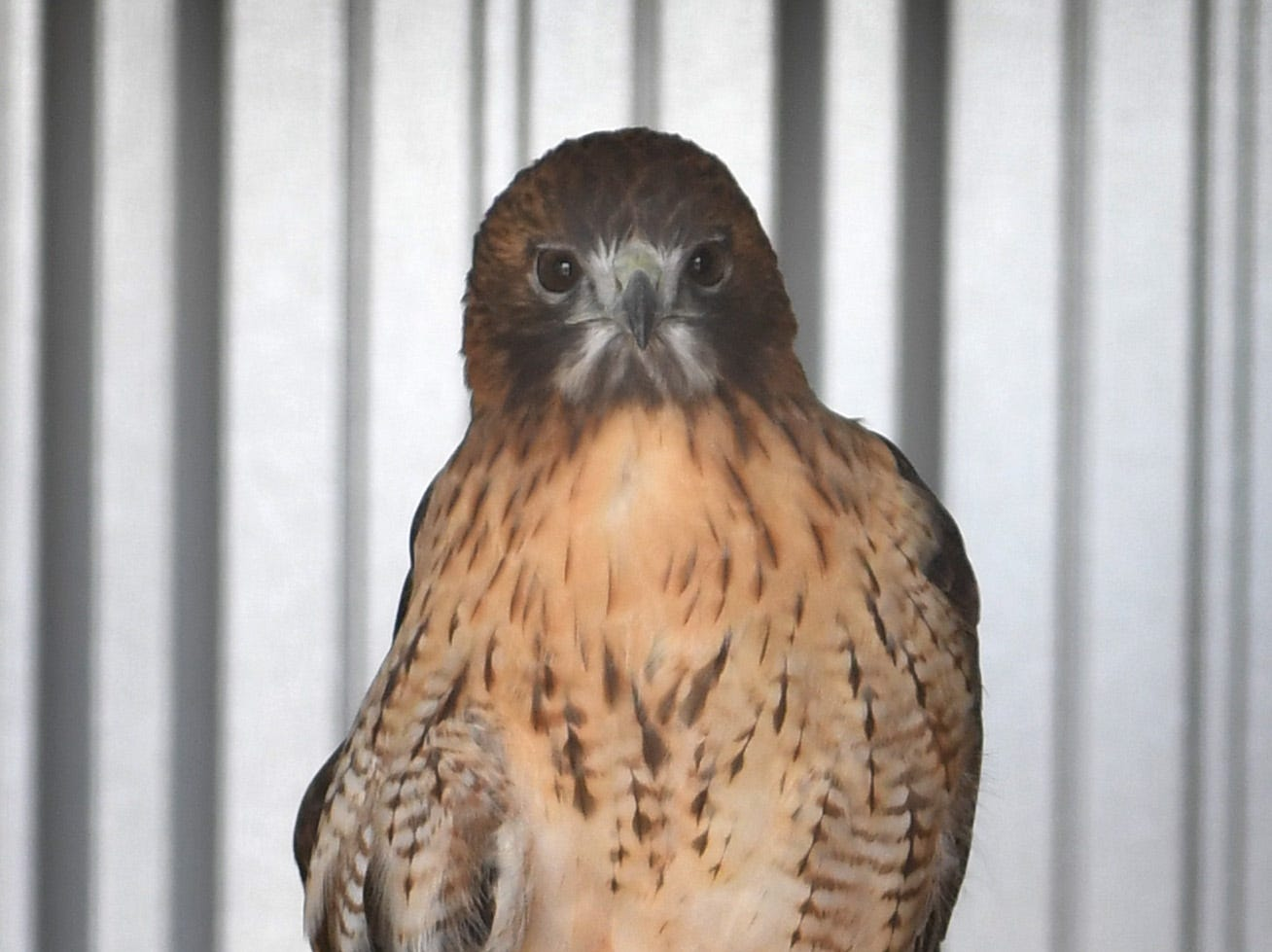 Wild Bird Rescue held a grand opening for its new Exhibit and Education building Thursday morning. Raptors like Sparticus, a male Red Tailed Hawk, live there.