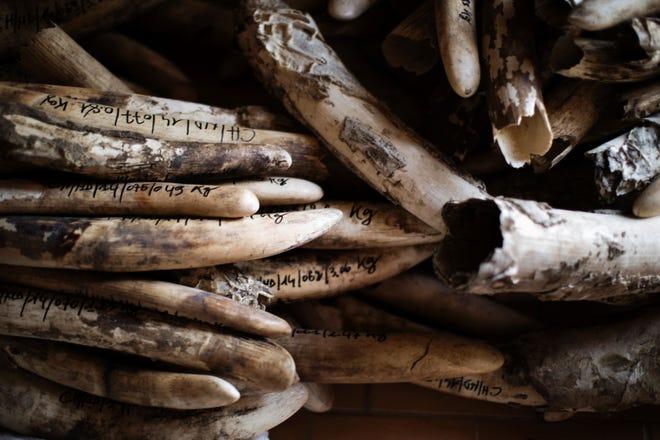 An ivory stockpile