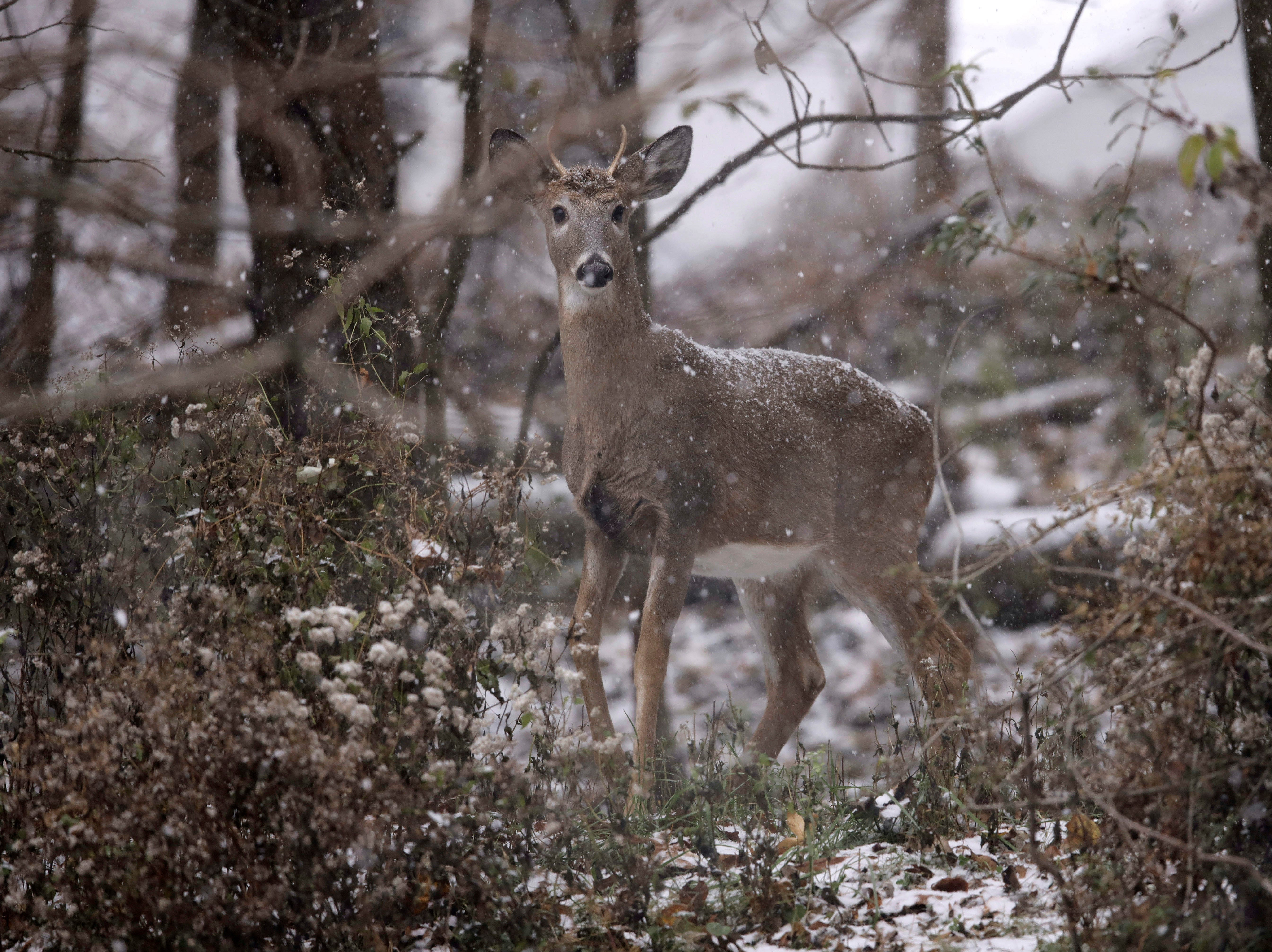 A young buck forages for food during a snow storm, Thursday, Nov. 15, 2018, in Marple Township, Pa. Pennsylvanians are dealing with their first taste of wintry weather this season. A mix of rain, sleet and snow had started falling across some areas of the state by late Thursday morning.