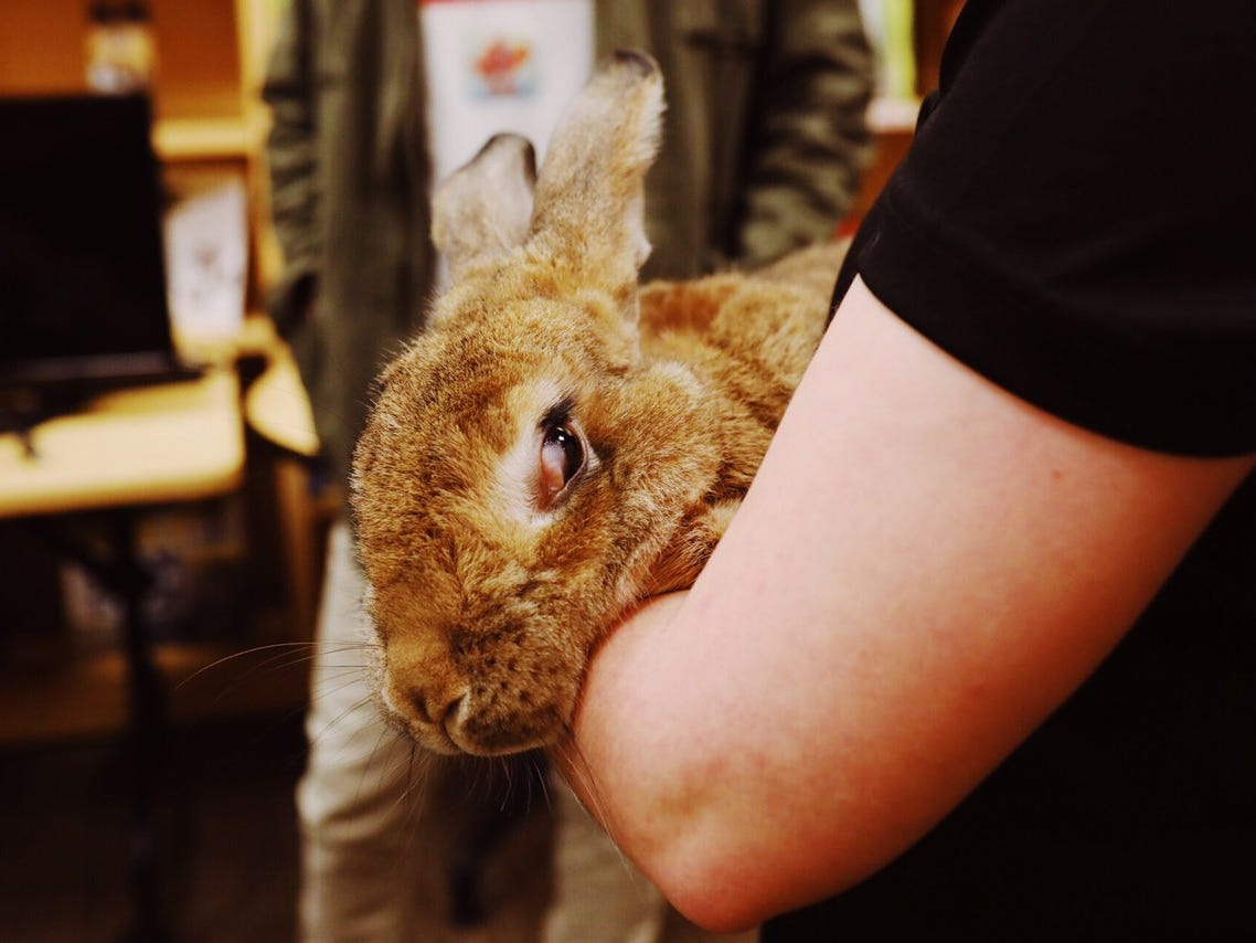 Radar, a flemish giant rabbit, is displayed at C.S. Mott Children's Hospital in Ann Arbor or Nov. 15, 2018.