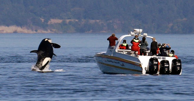 A Washington state task force on critically endangered Northwest orcas has offered its full slate of recommendations to Gov. Jay Inslee ahead of the next legislative session. The group advising the governor wants to temporarily suspend whale-watching boat tours focused on those whales, one of three dozen recommendations to save a population that is at its lowest in over 30 years. (AP Photo/Elaine Thompson, File)