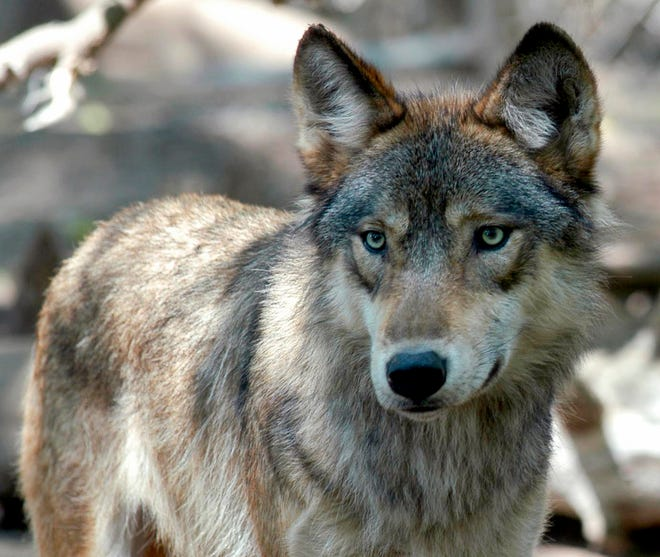 A gray wolf is seen at the Wildlife Science Center in Forest Lake, Minn. The Republican-controlled House has passed a bill to drop legal protections for gray wolves across the lower 48 states, reopening a lengthy battle over the predator species.