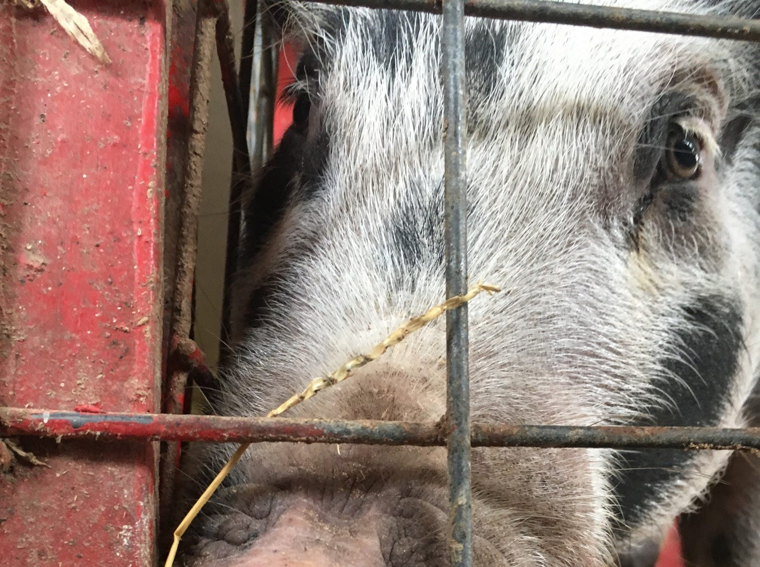 A pig noses its way to a treat at Young's Dairy in Yellow Springs, Ohio