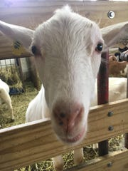 A goat says hello at Young's Dairy.