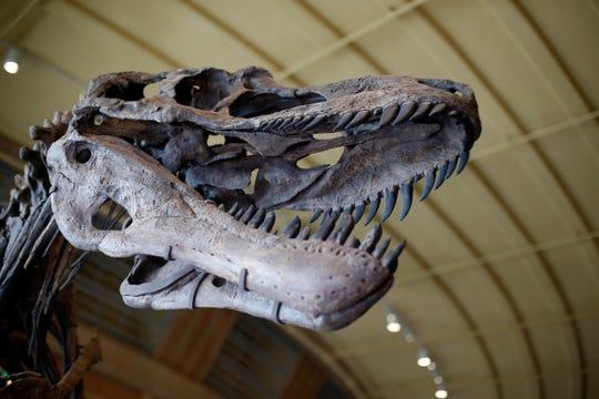 A Daspletosaurus horneri skeleton in the new Dinosaur Hall exhibit at the Cincinnati Museum Center in Cincinnati on Friday, Nov. 16, 2018.