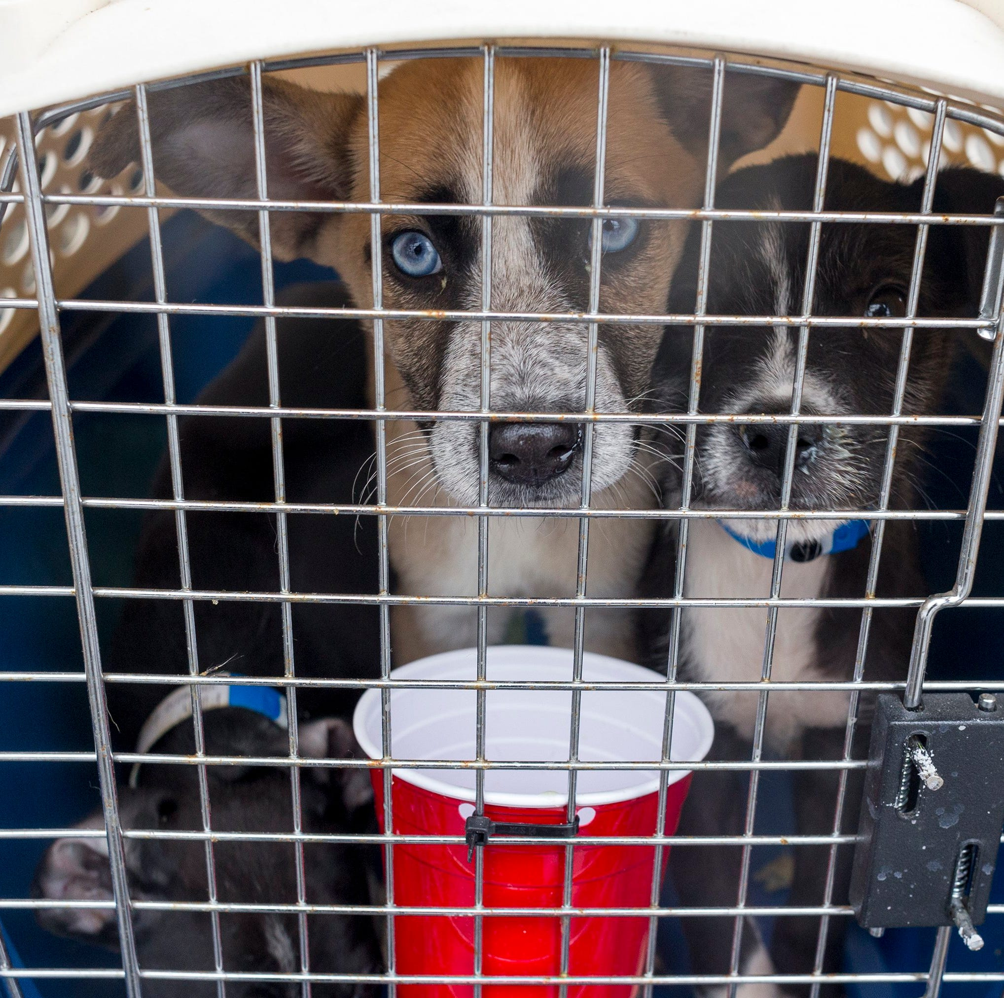 Giving Tuesday is a time when charities encourage contributions. But taxpayers need to understand the new tax rules, if they want to get a tax break for their charitable contributions. File photo: Three rescued puppies wait at Willow Run Airport to be transported to a Michigan humane society in April 2018.
