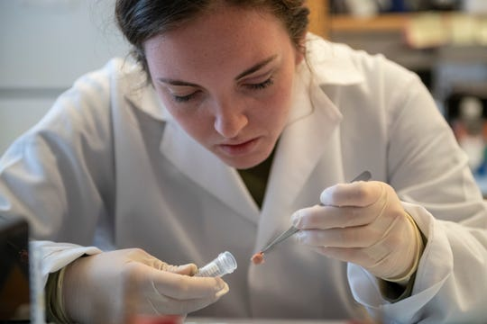 Research associate Shayna Mason prepares a piece of human spinal cord for analysis at the Program for Neurology Research and Discovery inside the Taubman Biomedical Science Research Building at the University of Michigan in Ann Arbor.