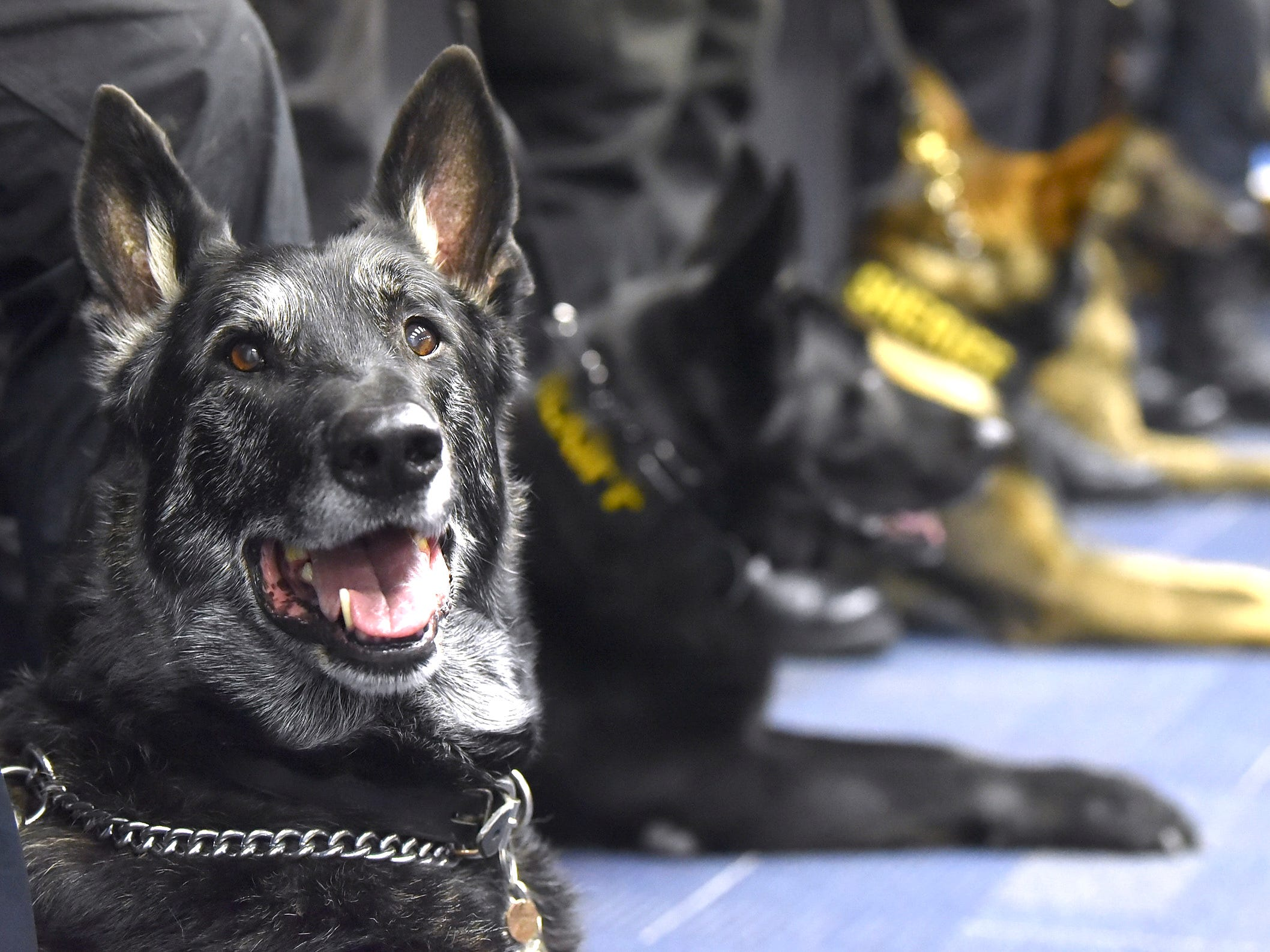 Sterling Heights Police K-9 Chase looks at the camera during the ceremony.
