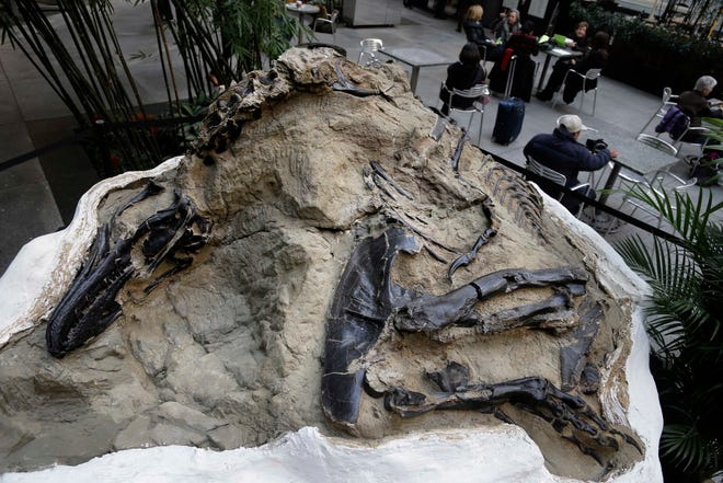 "In this Nov. 14, 2013 file photo, one of two ""dueling dinosaur"" fossils is displayed in New York. Ownership of two fossilized dinosaur skeletons found on a Montana ranch in 2006 are the subject of a legal battle over whether they are part of a property's surface rights or mineral rights. The 9th U.S. Circuit Court of Appeals issued a split decision saying fossils are minerals under mineral rights laws."
