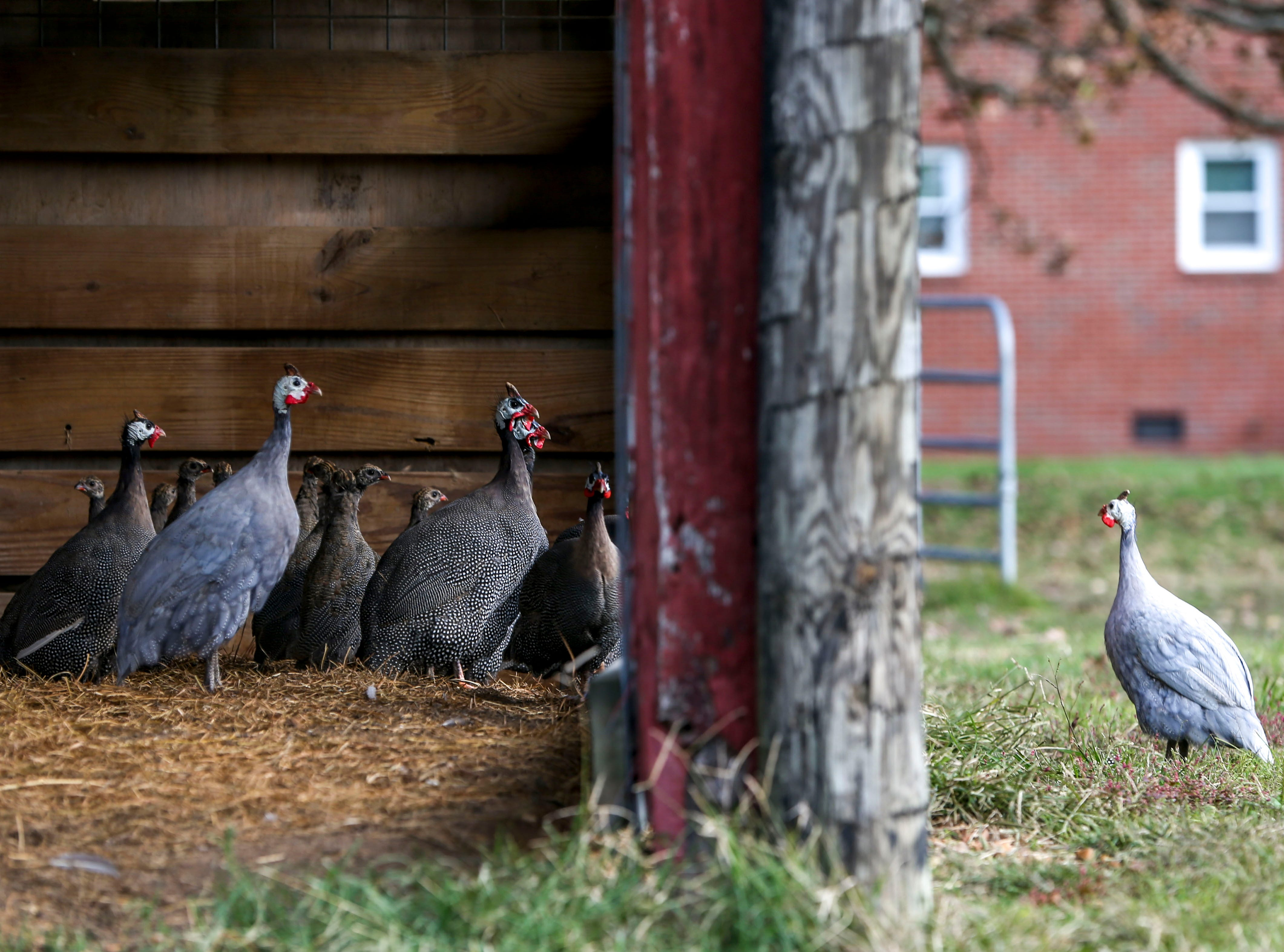 Guineafowl, birds that eat pests and most insects, stare at one another through a fence at Stillwaters Farm in Henderson, Tenn., on Monday, Nov. 5, 2018.