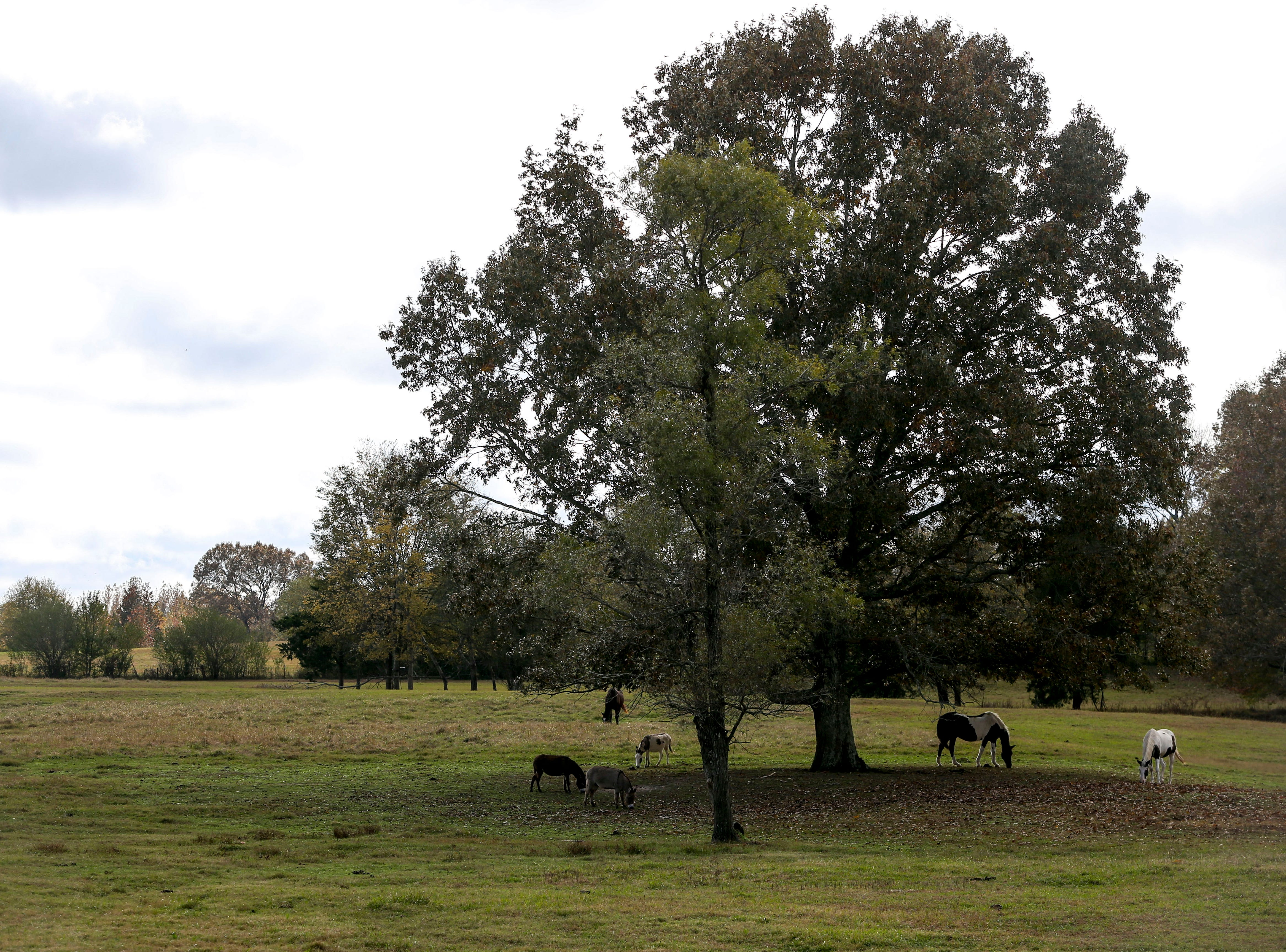 Horses, donkey, and cows roam an open pasture behind the living quarters at Stillwaters Farm in Henderson, Tenn., on Monday, Nov. 5, 2018.