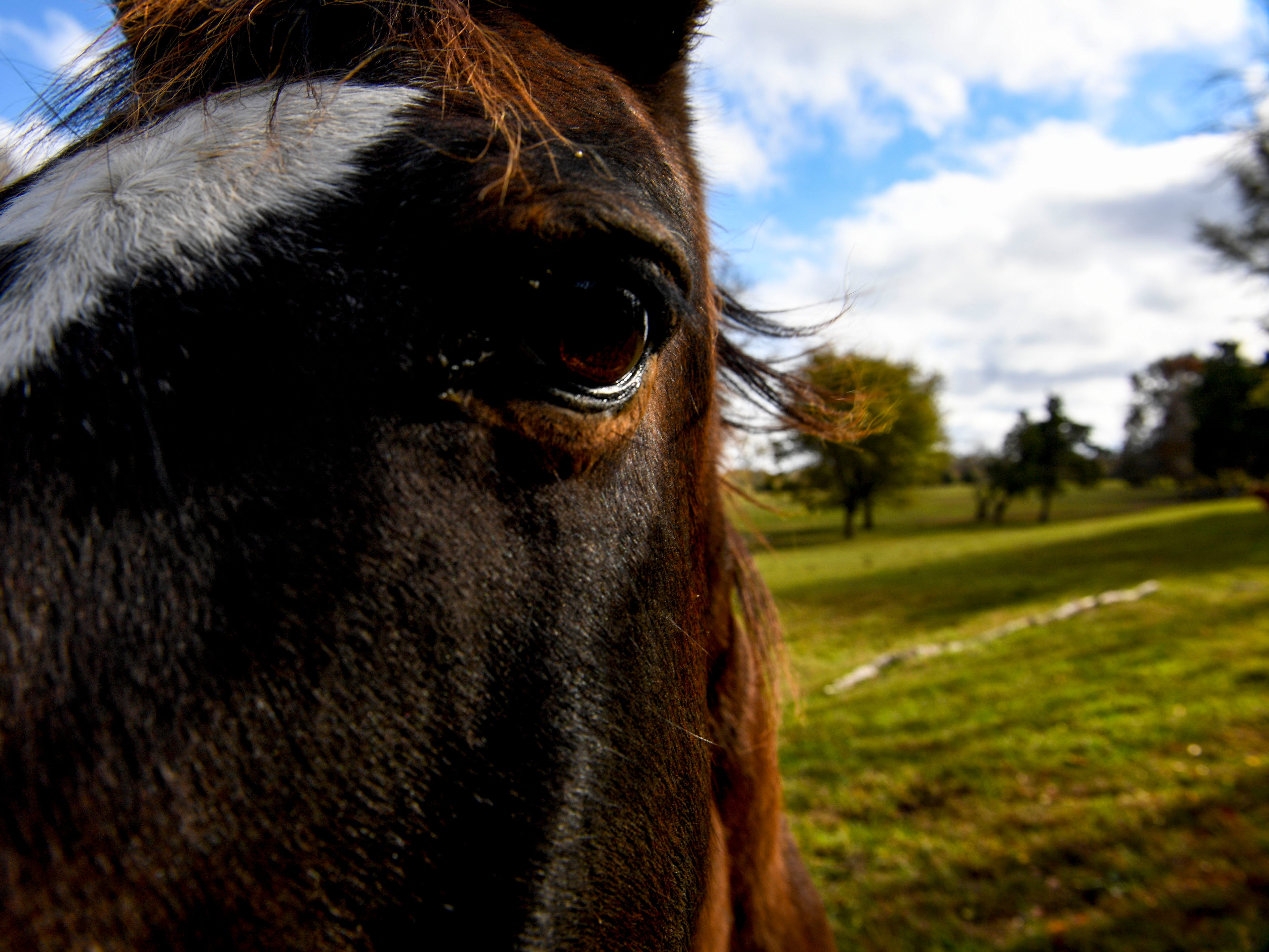 Geronimo leans in while visiting Valeria Pitoni at the edge of the pasture at Stillwaters Farm in Henderson, Tenn., on Monday, Nov. 5, 2018.
