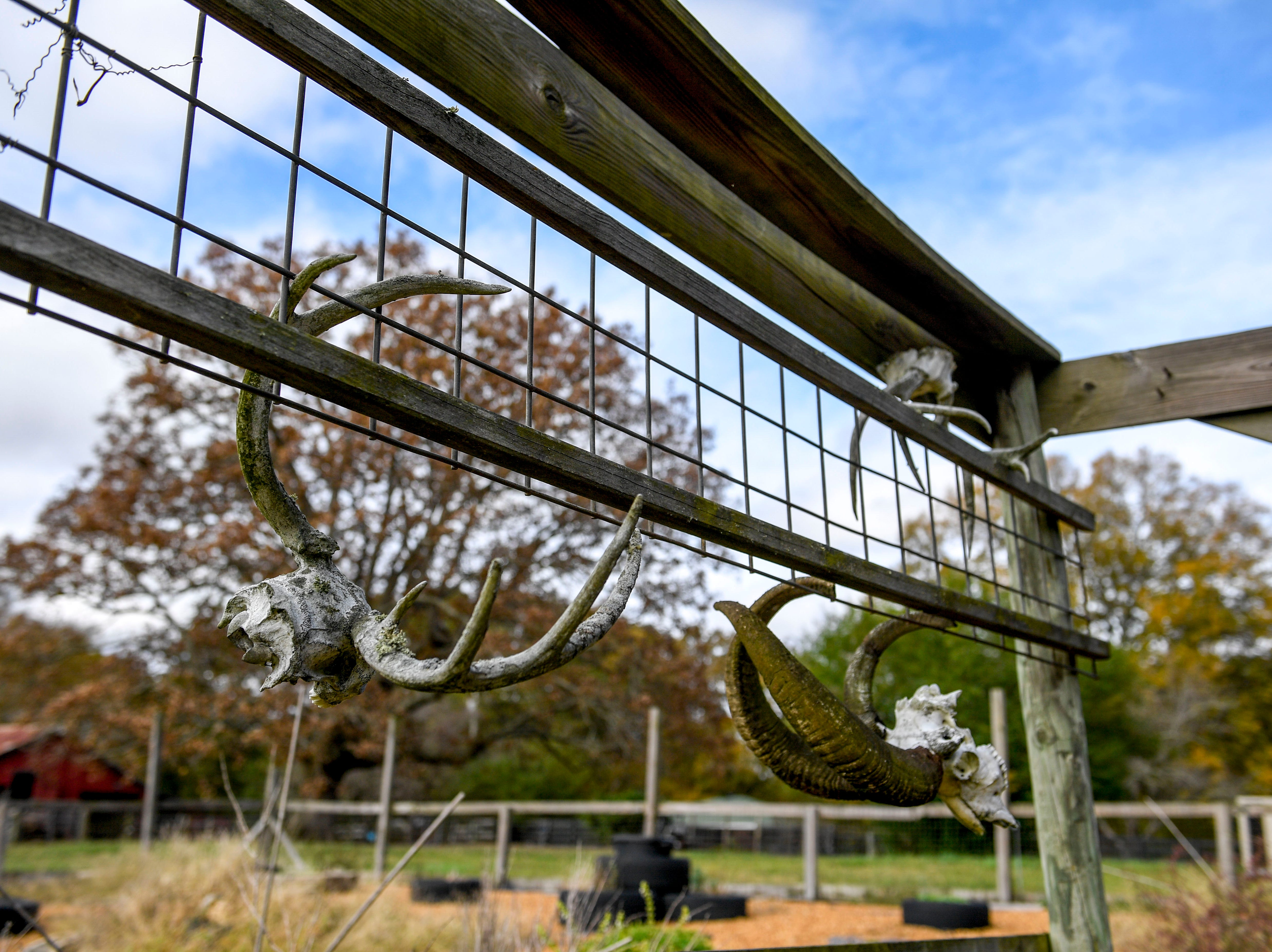 Skulls of past rams hang from the fence of an herb field at Stillwaters Farm in Henderson, Tenn., on Monday, Nov. 5, 2018.