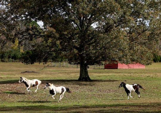 Horses gallup from one end of a pasture to the other, sending donkey and horses running out of their way, at Stillwaters Farm in Henderson, Tenn., on Monday, Nov. 5, 2018.