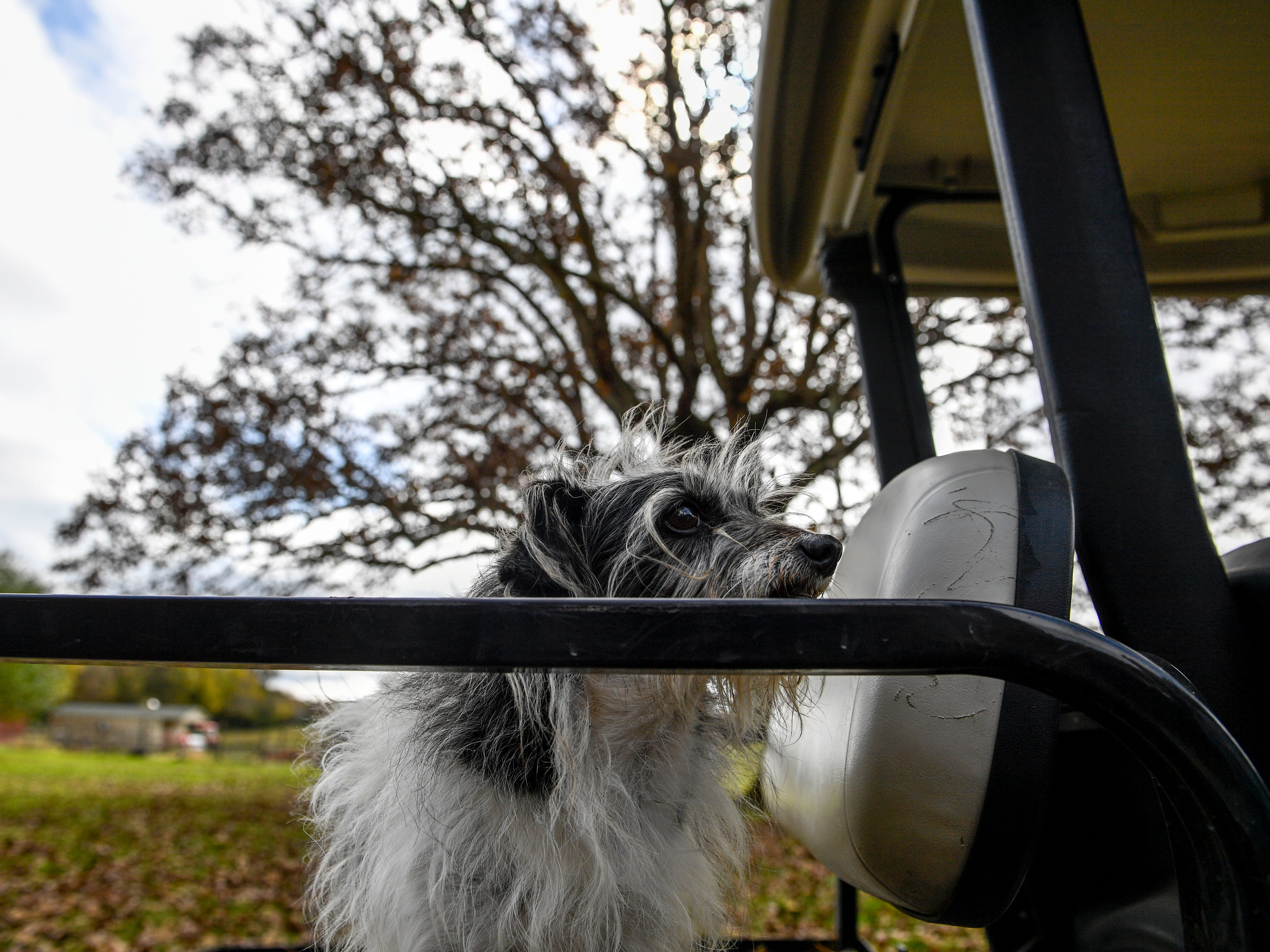 Bob, a stray that arrived at the Pitoni's farm one day and stayed for good, perches on top of a golf cart at Stillwaters Farm in Henderson, Tenn., on Monday, Nov. 5, 2018.