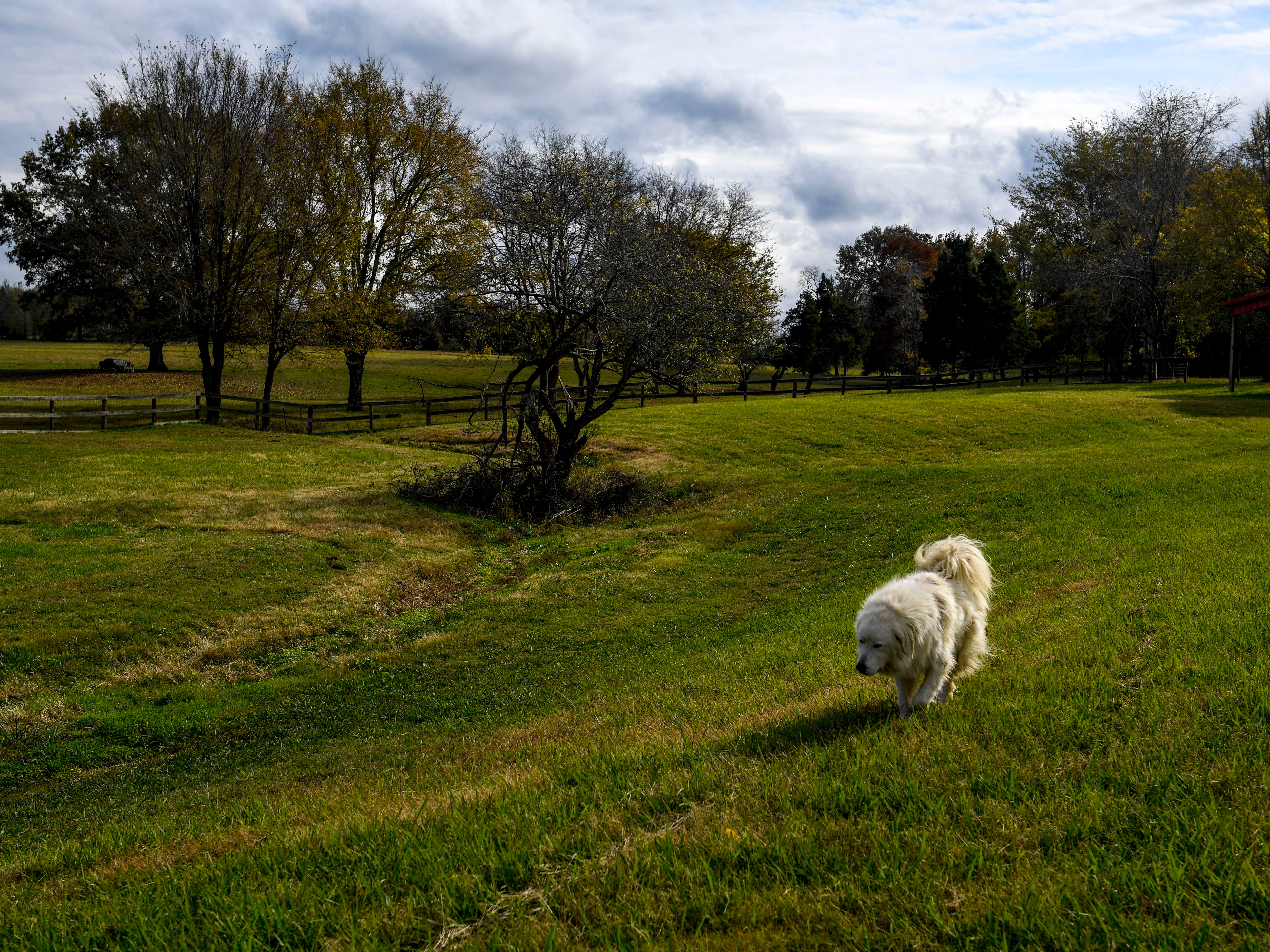 Dusty, a Great Pyrenees of the Pitoni's, walks across a field to catch up with Valeria Pitoni at Stillwaters Farm in Henderson, Tenn., on Monday, Nov. 5, 2018.