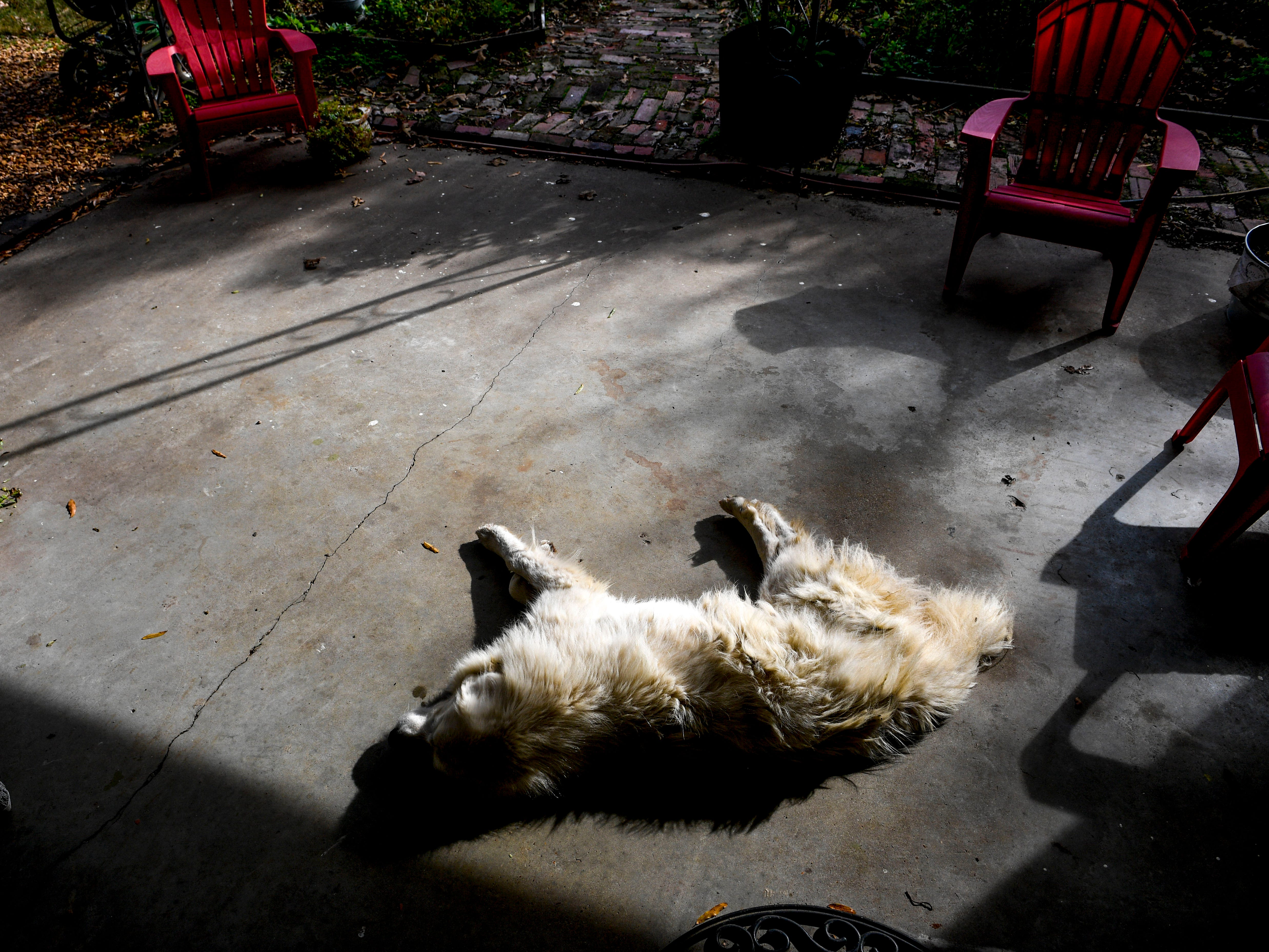 Dusty, a Great Pyrenees, lays out to bask in the sun rays at the front porch of the Pitoni's guest house at Stillwaters Farm in Henderson, Tenn., on Monday, Nov. 5, 2018.