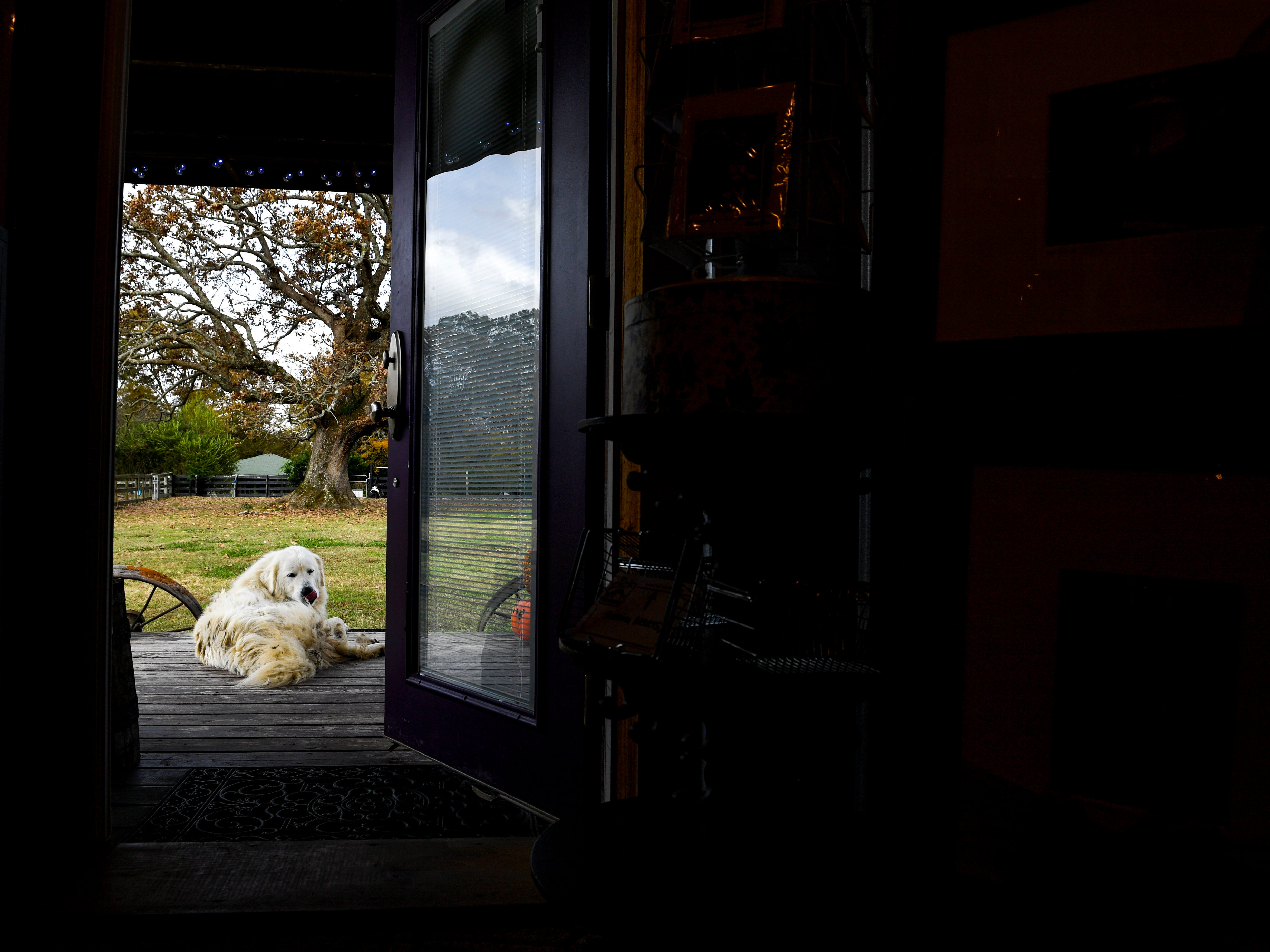 The Pitoni's Great Pyrenees Dusty sits on the front porch of the shop Valeria uses to sell her products at Stillwaters Farm in Henderson, Tenn., on Monday, Nov. 5, 2018.