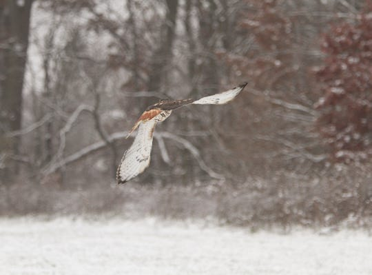 With its sights set on a wooded area, a red-tailed hawk flies Friday, Nov. 16, 2018 after being rehabilitated at the Howell Conference and Nature Center.