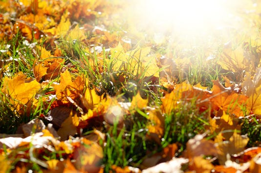Dry Maple Fallen Leaves On Green Grass Against Sun Light