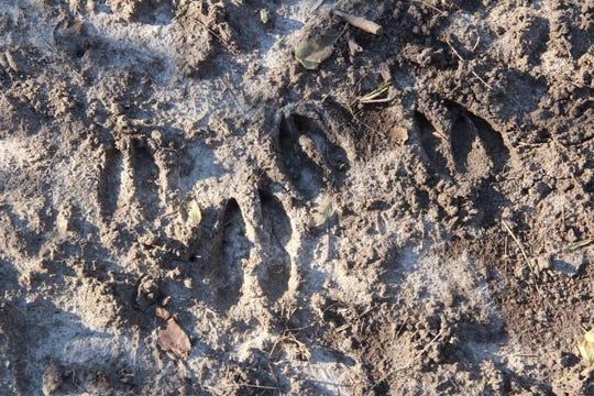 Tracks of white-tailed deer are frozen in a trail near Dodgeville, Wisconsin.