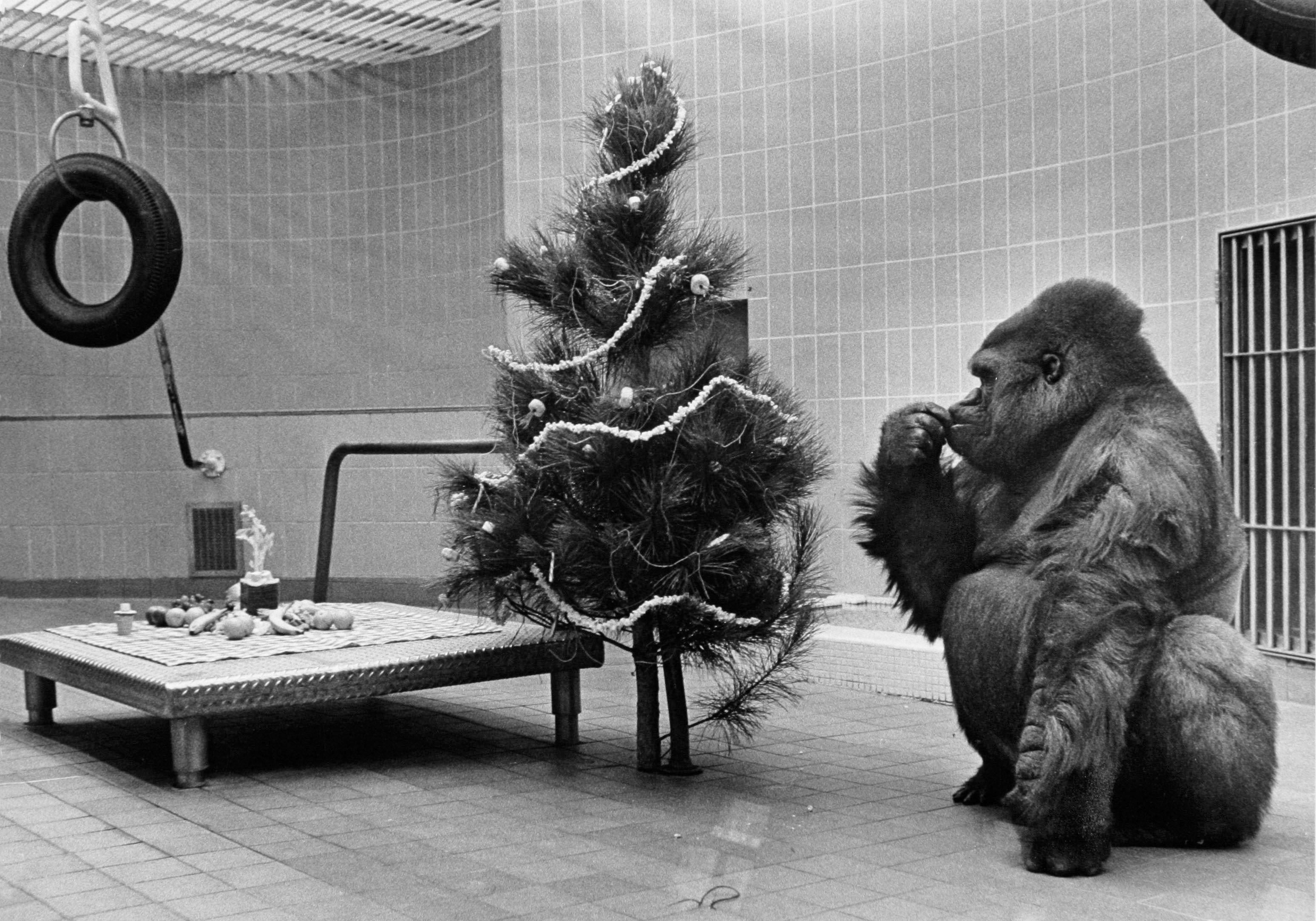 Samson, the Milwaukee County Zoo's popular lowland gorilla, studies the new Christmas tree installed in his quarters as part of the zoo's 1968 Christmas celebration. The tree is decorated with marshmallows, sugar doughnuts, popcorn and candy canes. He ate the treats before heading for the spread on his platform scale. This photo was published in the Dec. 18, 1968, Milwaukee Journal.