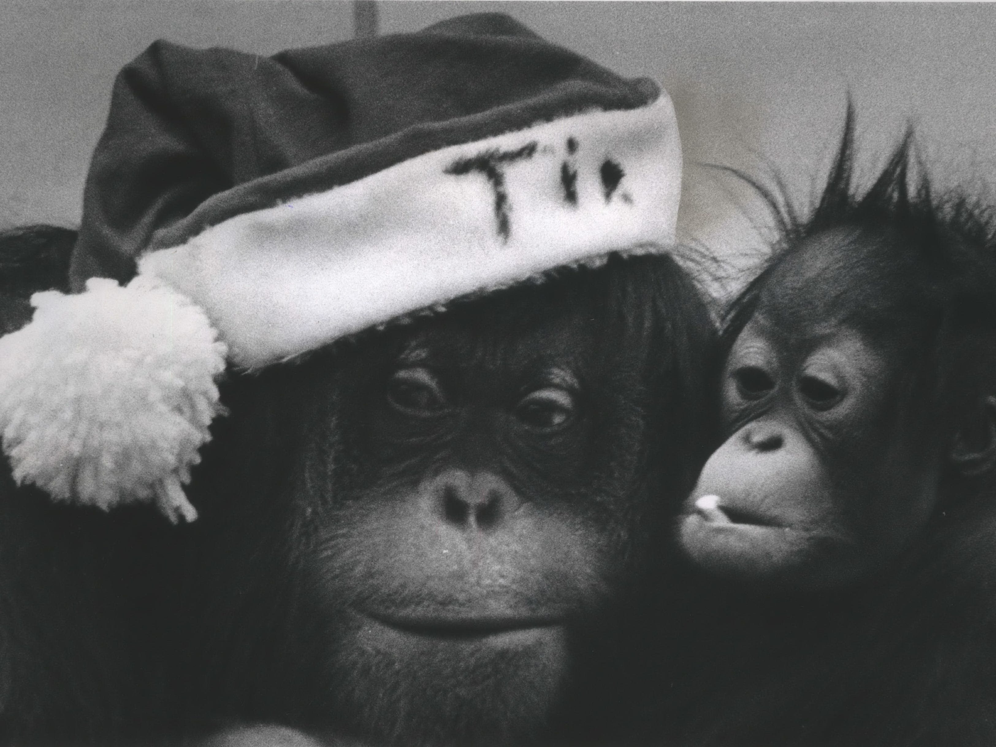 An orangutan named Tia plays Santa Claus as she introduces her baby, Dick, to the Christmas season at the Milwaukee County Zoo on Dec. 17, 1968. The youngster, born in January 1968, got a peppermint cane for his holiday treat. This photo was published in the Dec. 18, 1968, Milwaukee Journal.