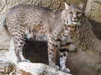 Bobcats are found throughout New Mexico