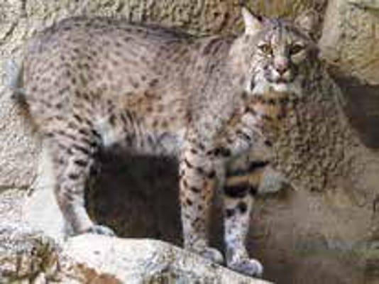 Hunting Furbearers Bobcat
