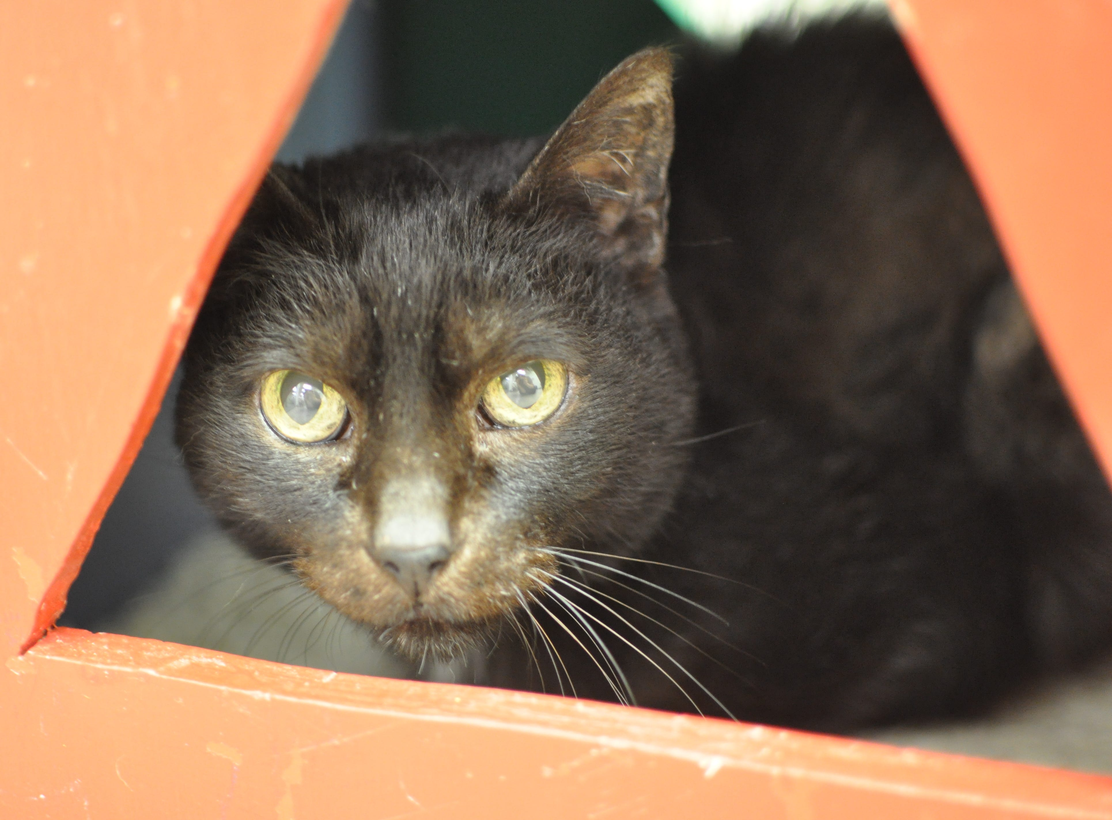 Gracie, 17, is sweet and loves to be held and cuddled. She is spayed and would do best in a quiet home.