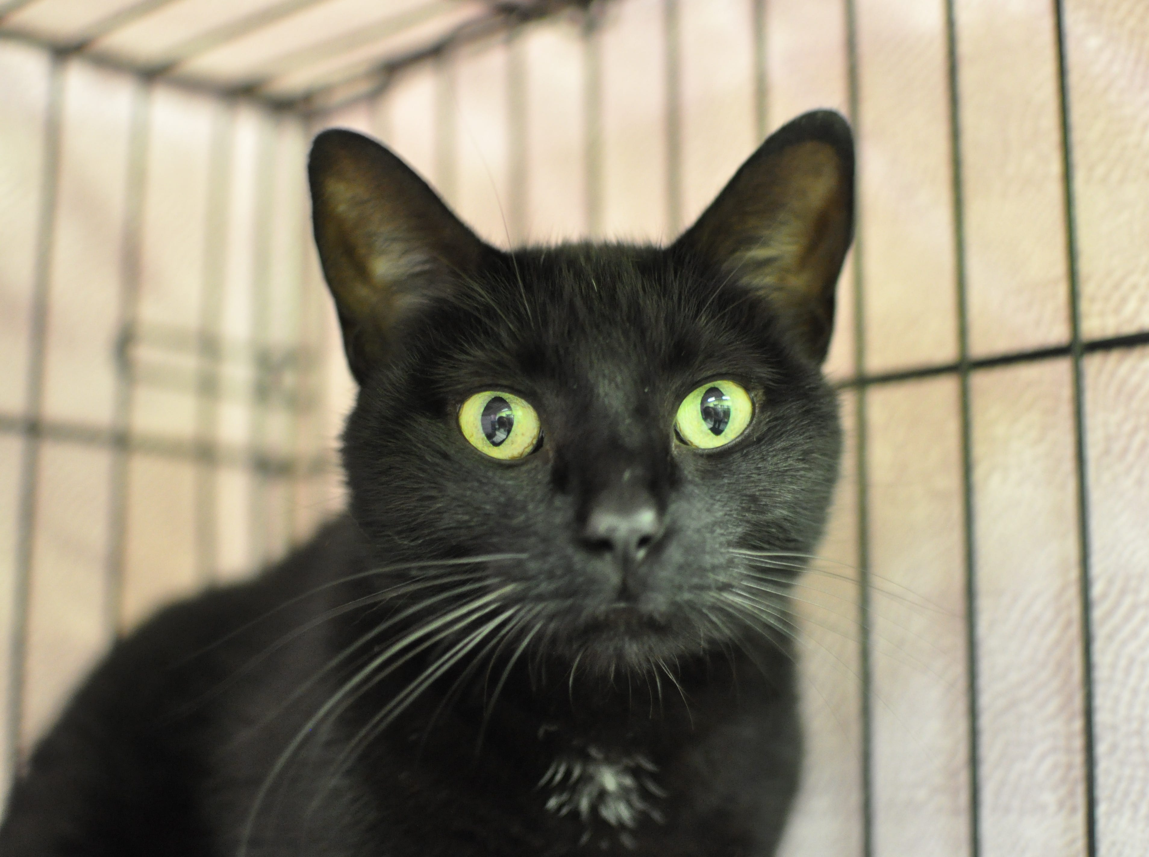 Five-year-old Penny loves playing with toys and is currently in foster care. She is spayed.