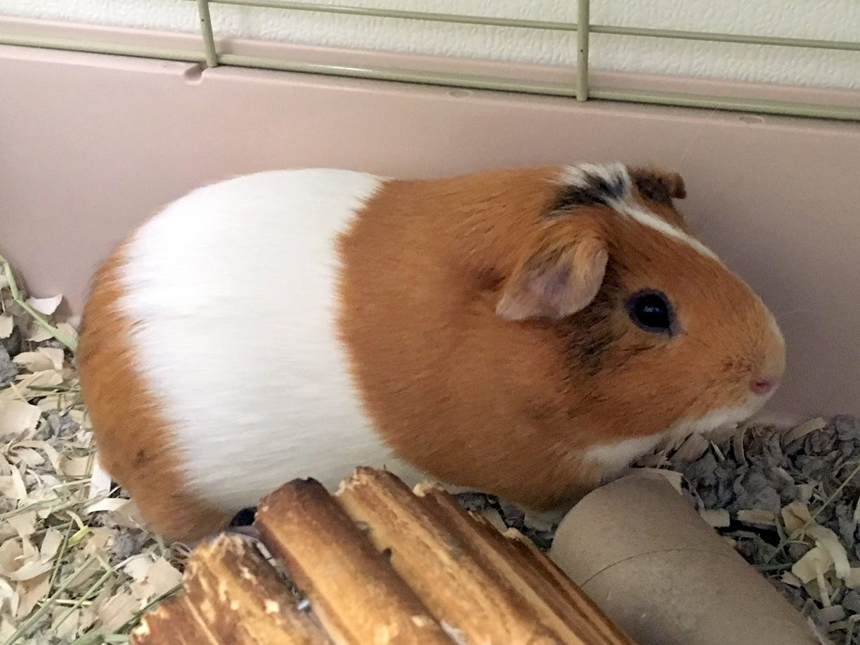 Marlow, 2, is hoping to find a home with another Guinea pig friend.