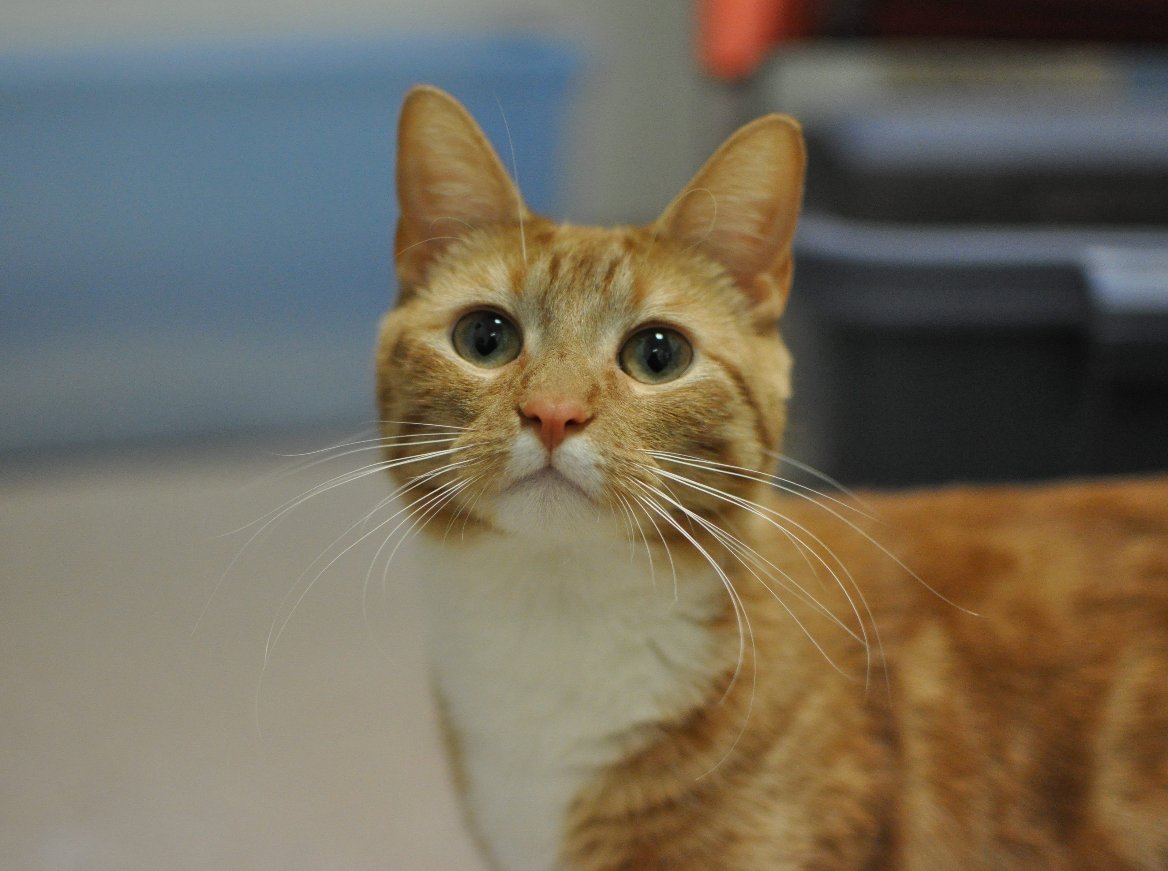 Lilah, 2, is loves gently petting and has a sassy side, too. She is spayed.
