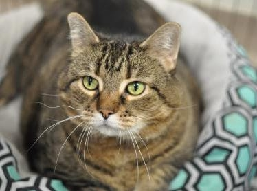 Nine-year-old Silvie is a beautiful lady hoping to find a family who can help her on her weight-loss journey. She is spayed.
