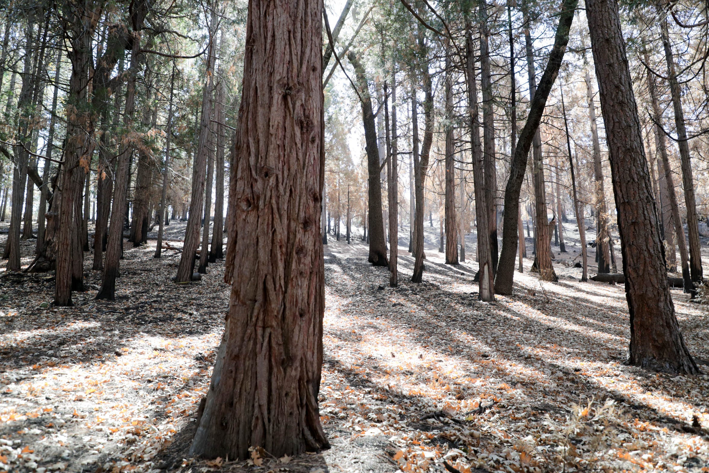 Two years before the Cranston Fire, Idyllwild Arts Foundation received grant funding to create a fuel break around the school's perimeter, and remove trees and prune shrubs across more than 80 acres (including this area). Fire officials credit the thinning, particularly fuel breaks, for slowing the progression of the fire, and safeguarding the campus and town.