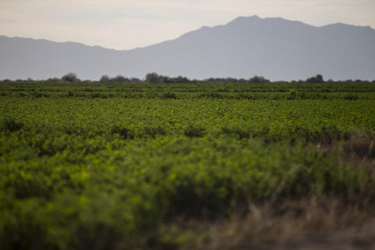 These fields are among approximately 36,000 acres of farmlands under cultivation in the Gila River Indian Community.