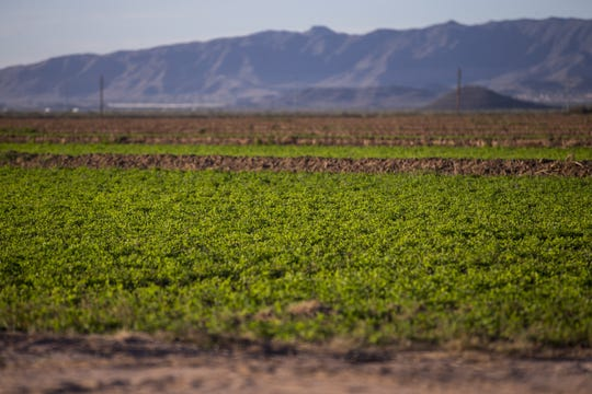 Farms in Gila River Indian Community produce crops including alfalfa, sorghum, wheat, cotton and corn.