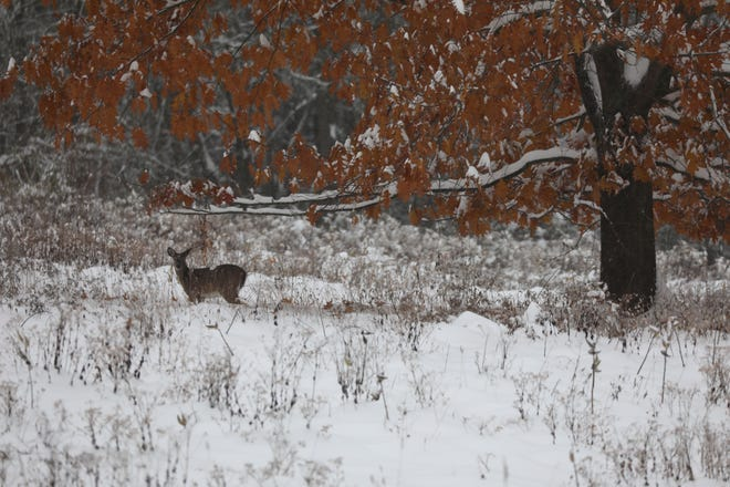 A deer stands in the snow in Mendon Ponds.