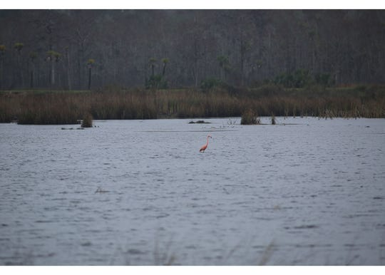 An American flamingo has been hanging around the St. Marks National Wildlife Refuge. The thought is that it blew in with Hurricane Michael in early October.