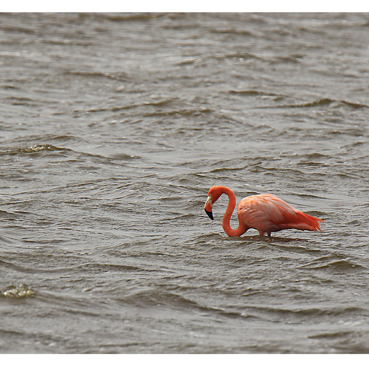 After Hurricane Michael, St. Marks tickled pink with flamingo sighting