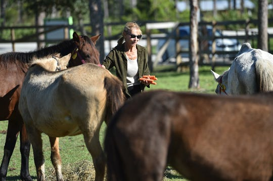 Dolores Kennedy, a volunteer at Equine Rescue and Adoption Foundation tries to feed carrots to eight of the 11 horses taken in by ERAF as they wander the grounds of a pasture on Friday, Nov. 16, 2018, at their facility in Palm City. The horses are part of a group of horses rescued on Oct. 25 from Lake Butler where investigators discovered the horses living in inadequate conditions and exhibiting signs of neglect.